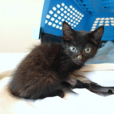 Benny the small black kitten looking at the camera.